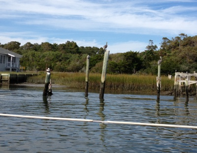 Pelicans and cormorants on pilings, one bird only.