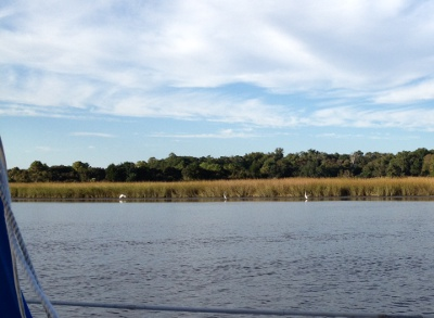 Great Egrets in the marsh grasses.