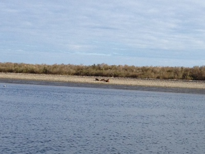 North Carolina's feral goats. And, note the dolphins in the foreground.