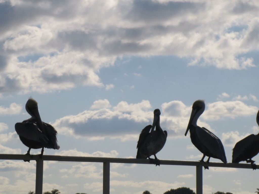 Pelicans are everywhere!